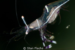 shrimp carrying eggs by Stan Flachs 